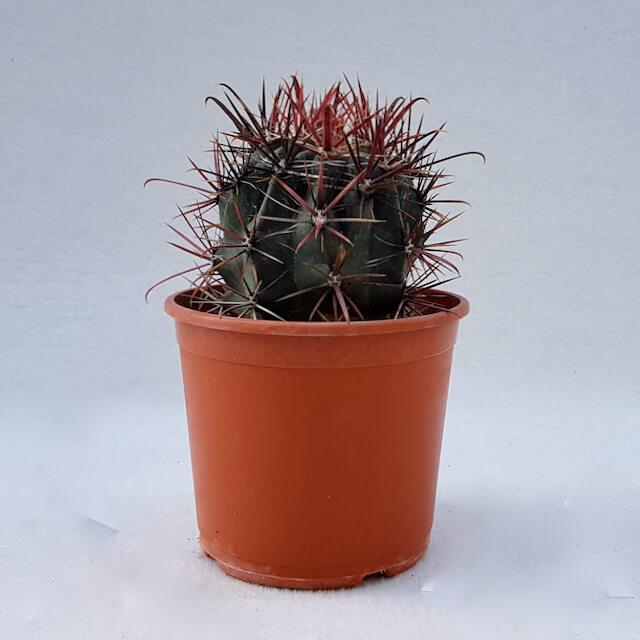 Ferocactus gracilis hybrid vaso Ø17 - 49D