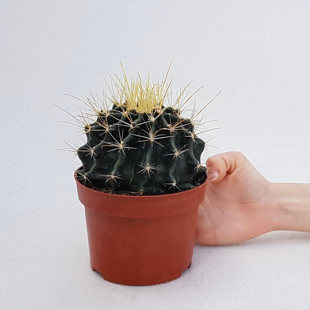 Hamatocactus hamatacanthus (Ferocactus hamatacanthus) vaso 13 - 1070
