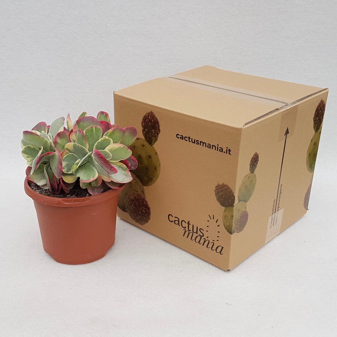 Kalanchoe thyrsiflora variegata vaso Ø 17