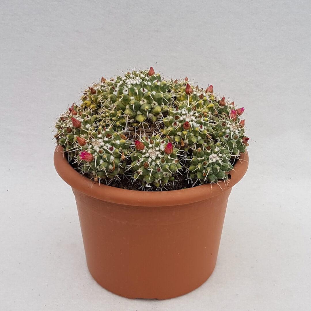 Mammillaria compressa vaso Ø 24