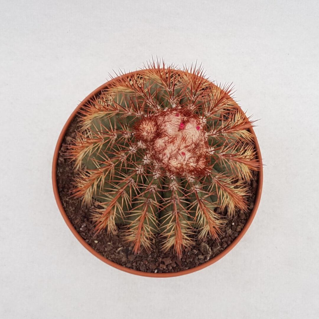 Melocactus broadwayi vaso Ø 20