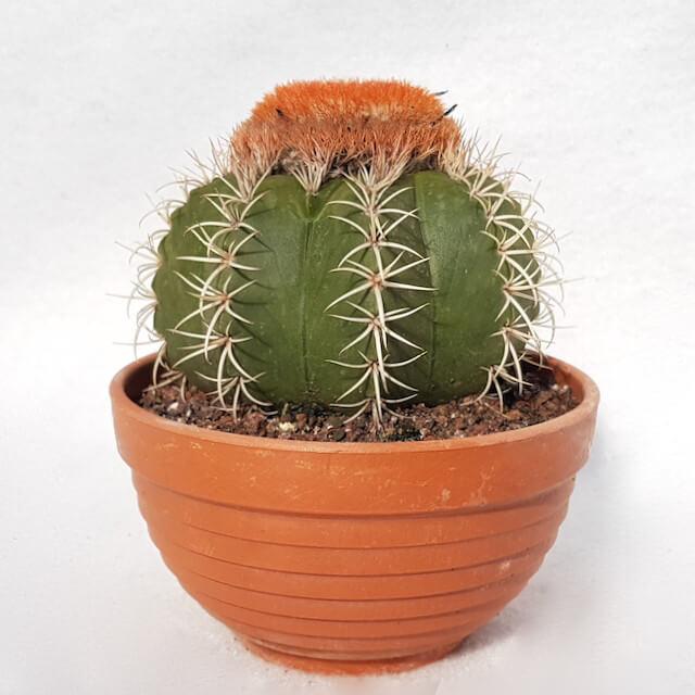 Melocactus matanzanus vaso 13 - Cod. 13E
