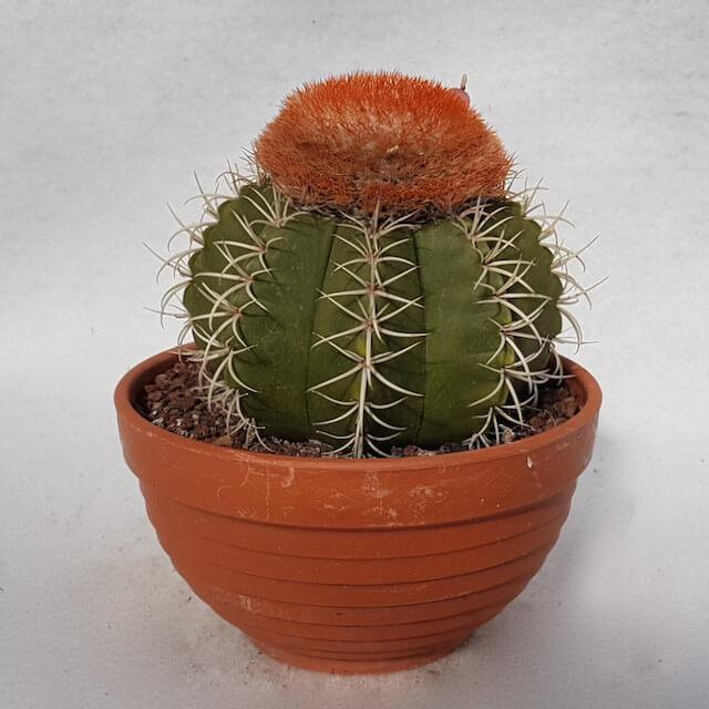 Melocactus matanzanus vaso 13 - Cod. 19E