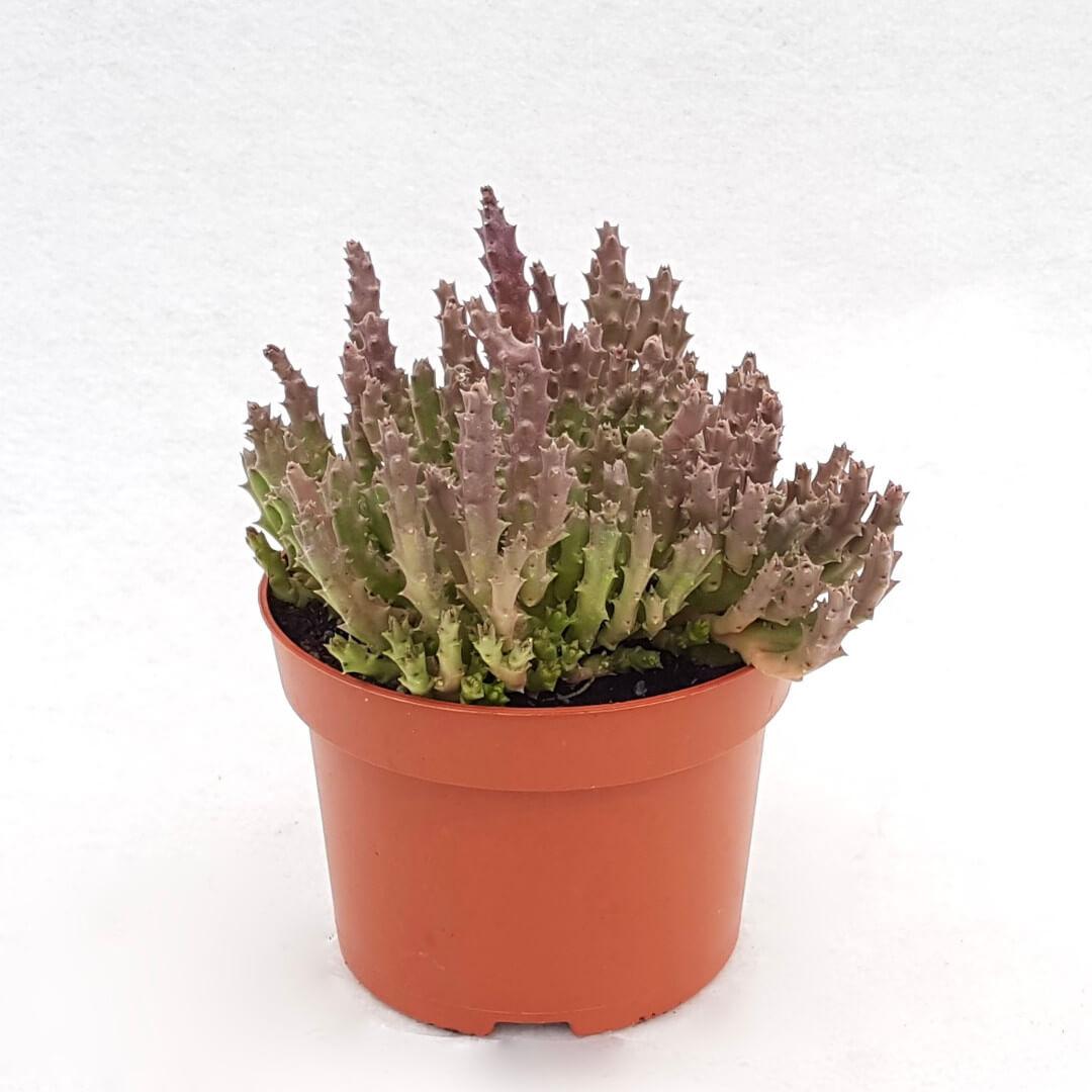 Stapelia variegata vaso Ø 13