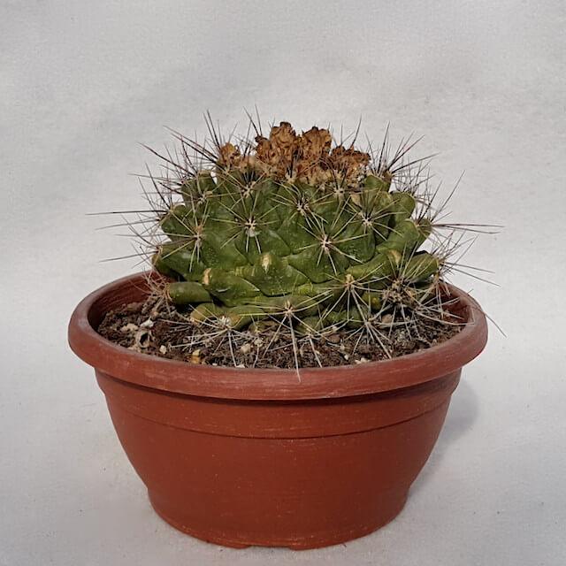 Thelocactus garciae vaso Ø 20 cm