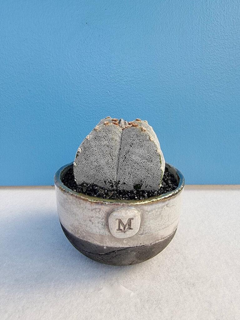 Astrophytum myriostigma quadricostatum vaso Acqua