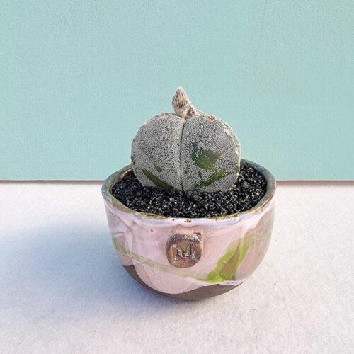Astrophytum myriostigma tricostatum vaso Aria