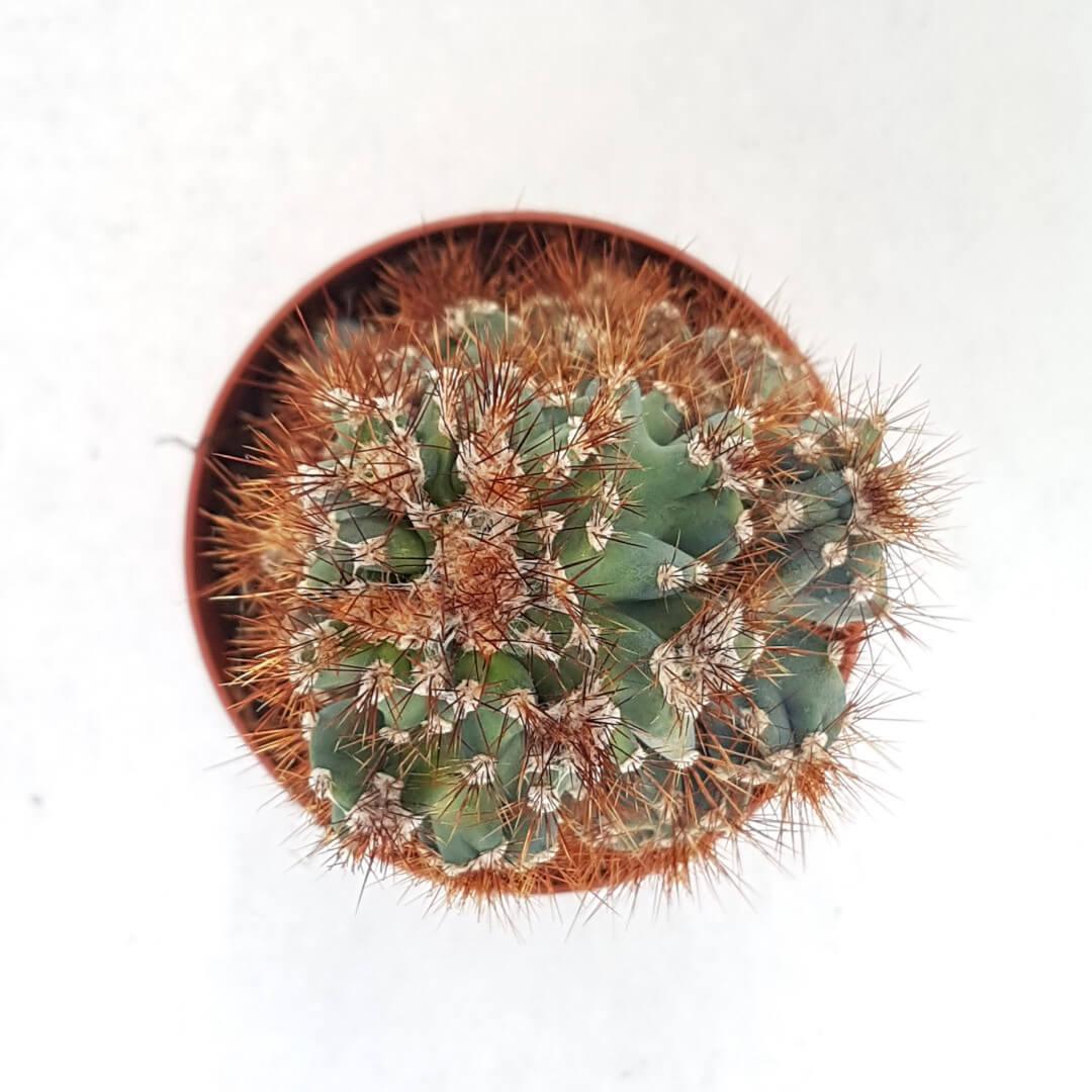 Cereus peruvianus coral crestato vaso Ø 13