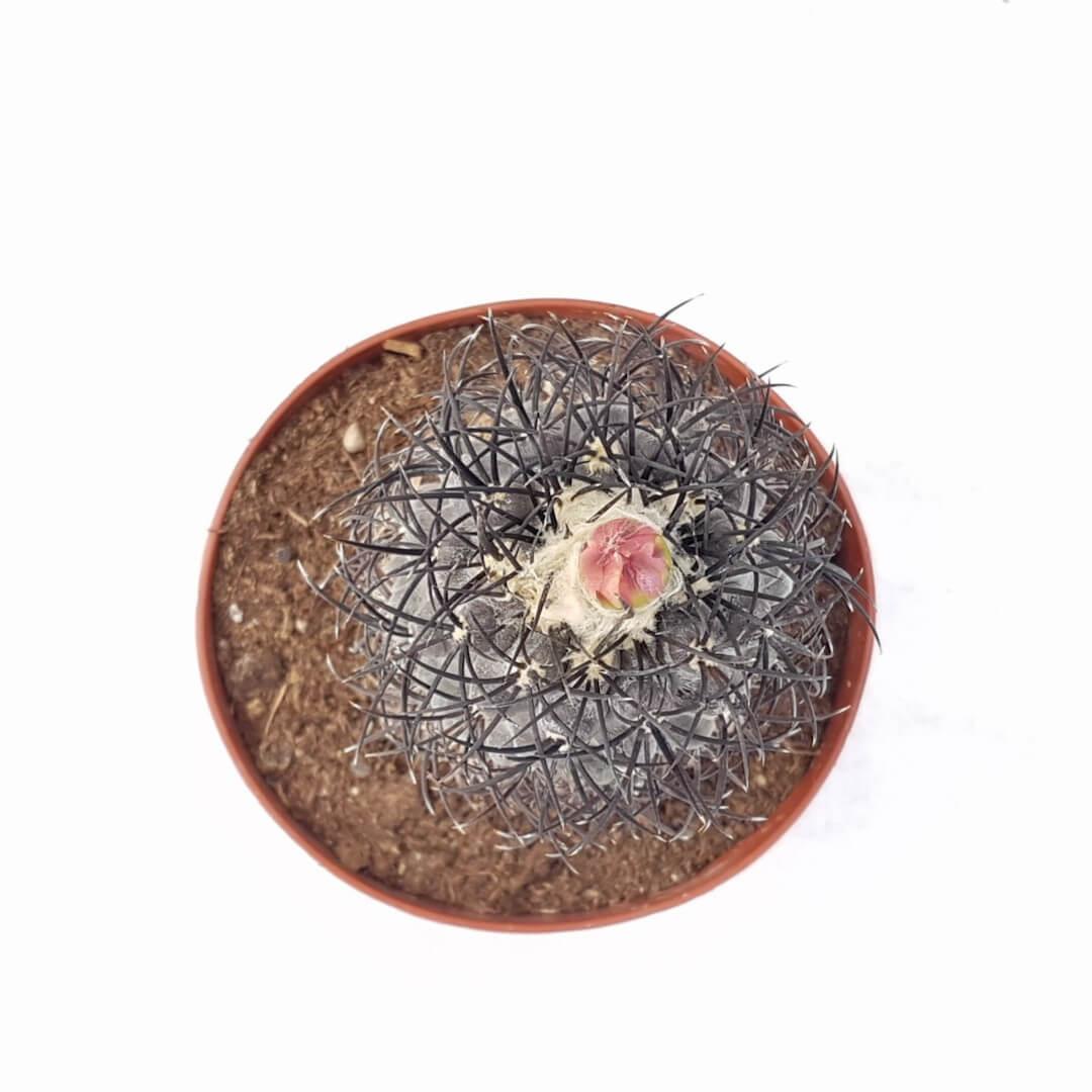 Copiapoa sp. Nova coralendid ignasi big 185 vaso Ø 14