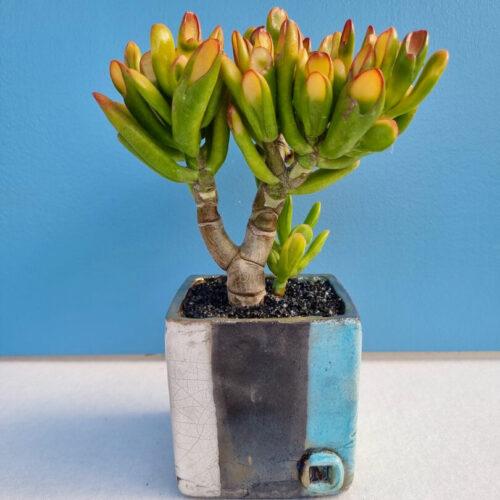 Crassula hobbit tricolor vaso quadrato ManeRaku Acqua