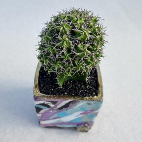 Euphorbia mitriformis vaso Acqua quadrato