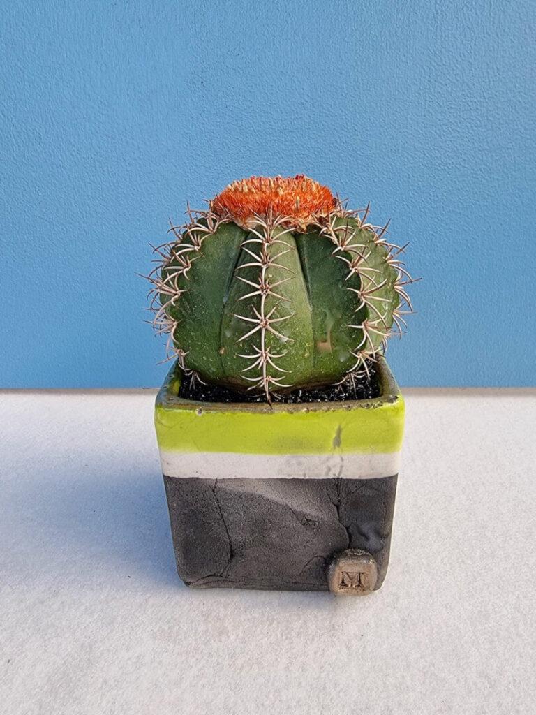 Melocactus matanzanus vaso quadrato Acqua