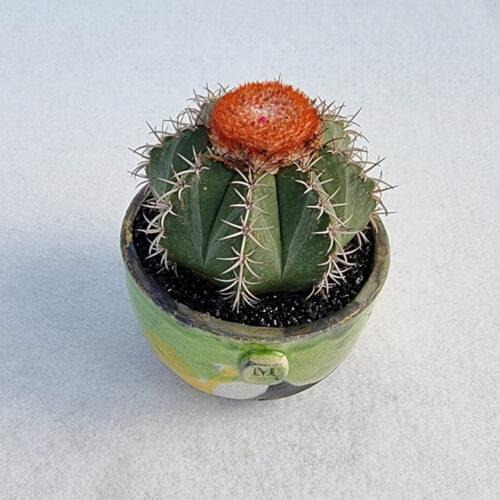 Melocactus matanzanus vaso tondo Acqua