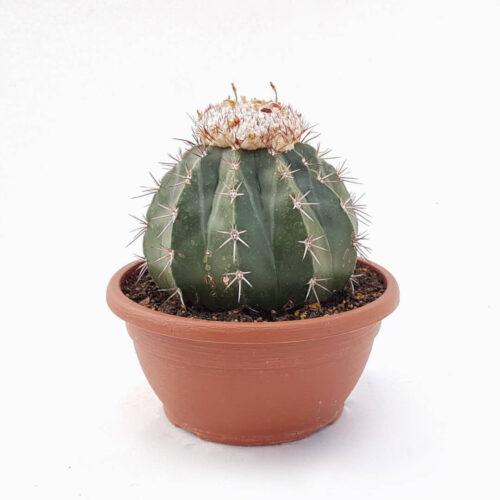 Melocactus maxonii vaso Ø 20
