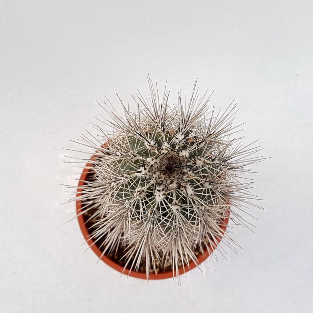 Pachycereus pringlei vaso Ø 17
