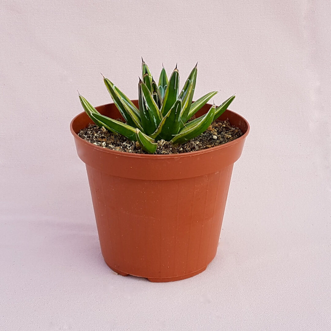Agave victoriae-reginae variegata 02F (Rarità)
