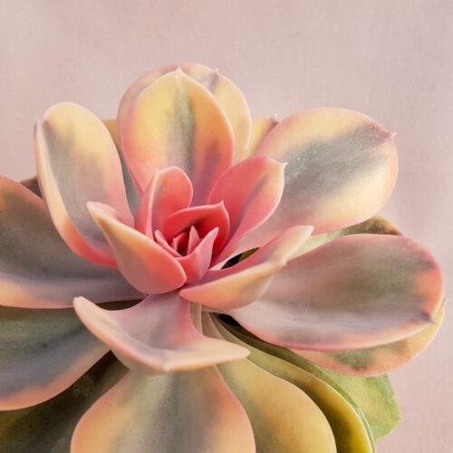 Echeveria Perle von Nurnberg variegata cv rainbow vaso Ø 10,5