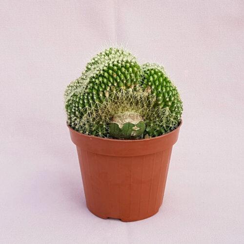 Echinocactus grusonii setispinus crestato vaso Ø12