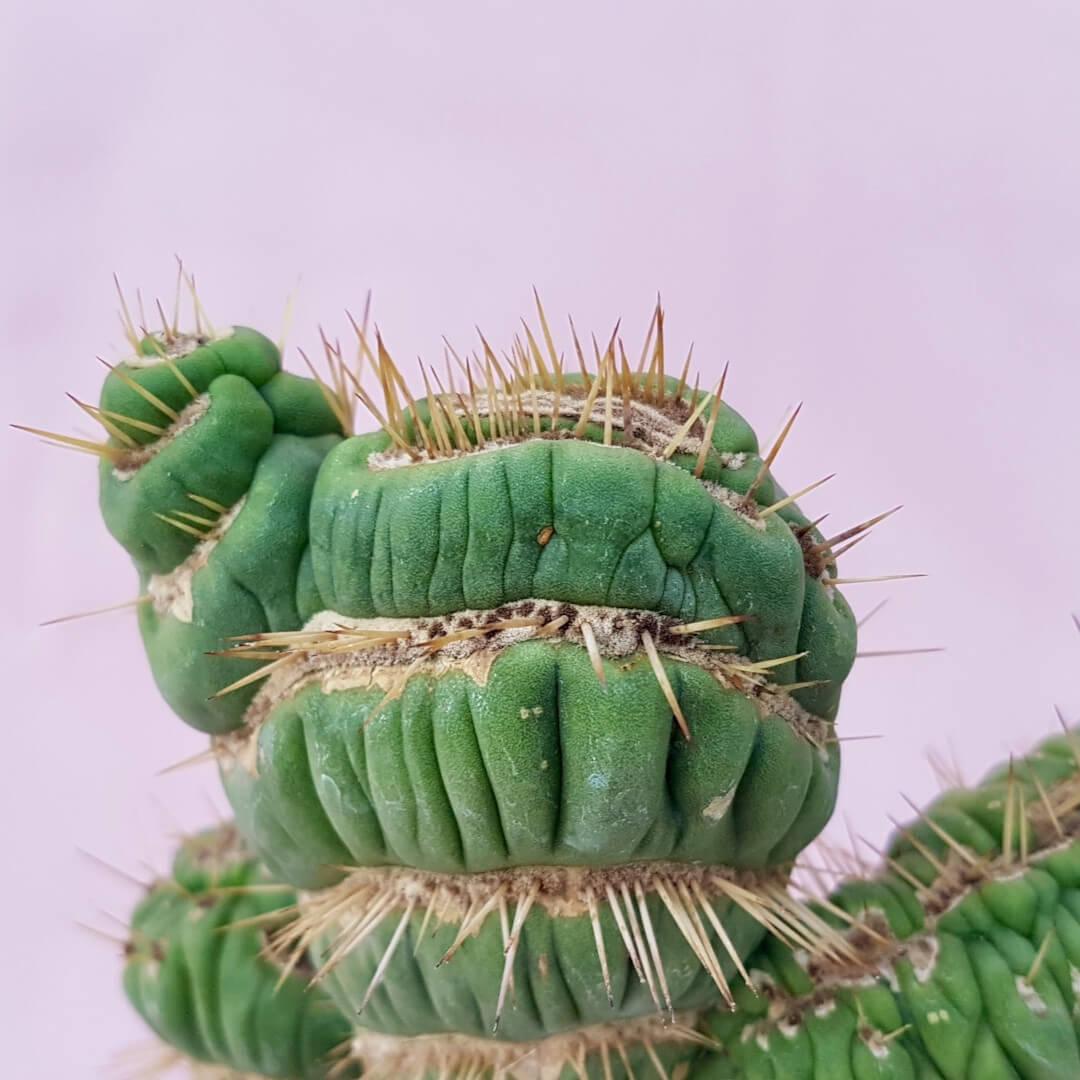 Eulychnia castanea spiralis crestata vaso Ø12