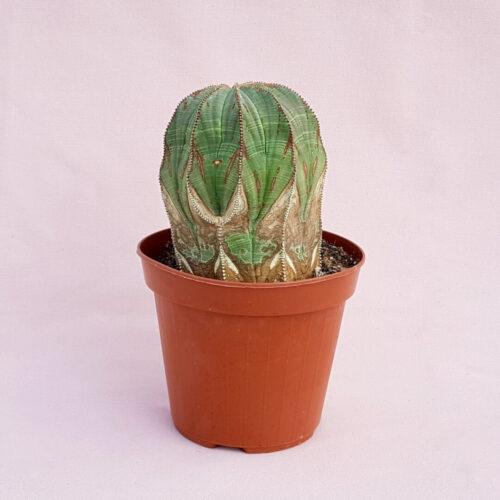 Euphorbia obesa innestata vaso Ø14