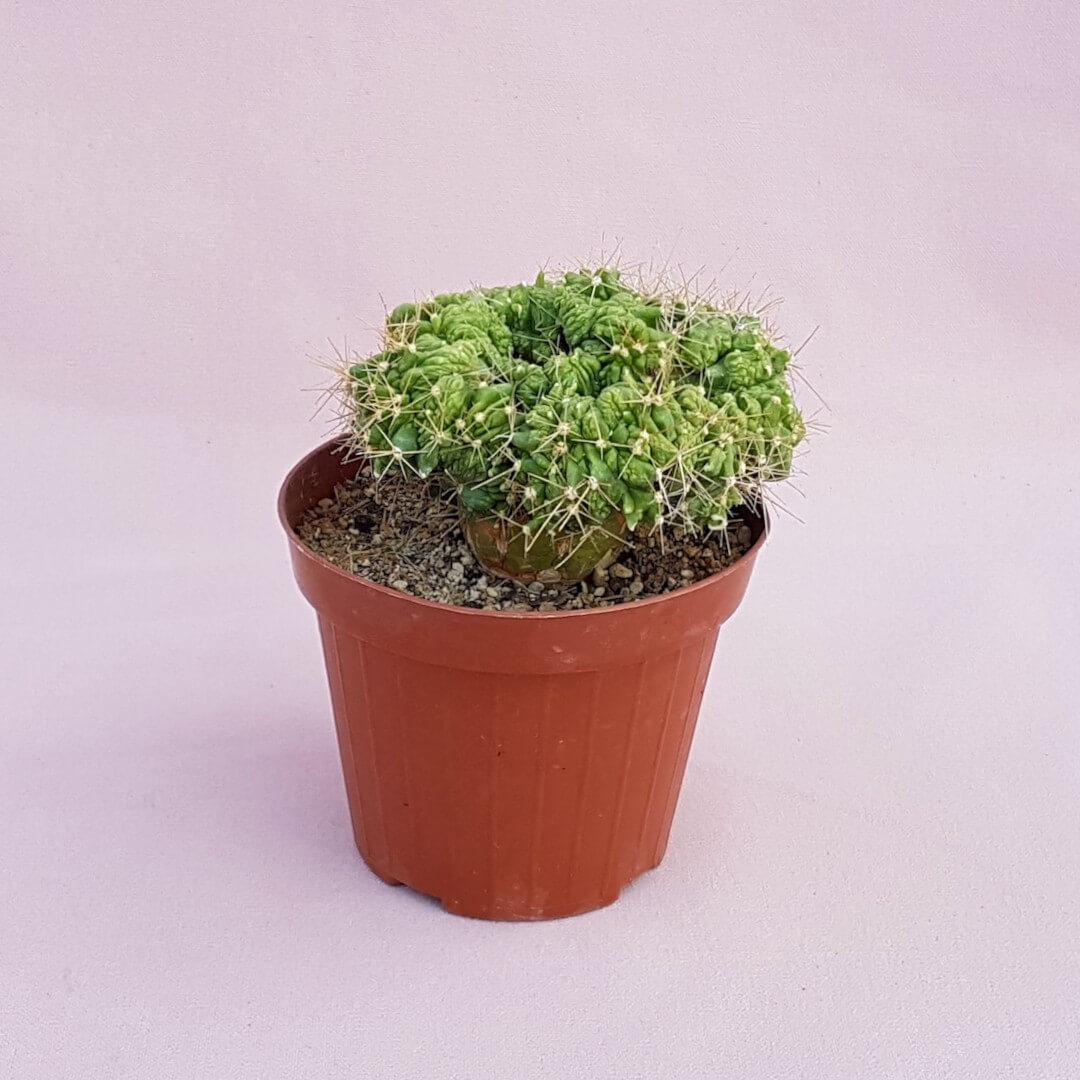 Ferocactus glaucescens crestato mostruoso 19F