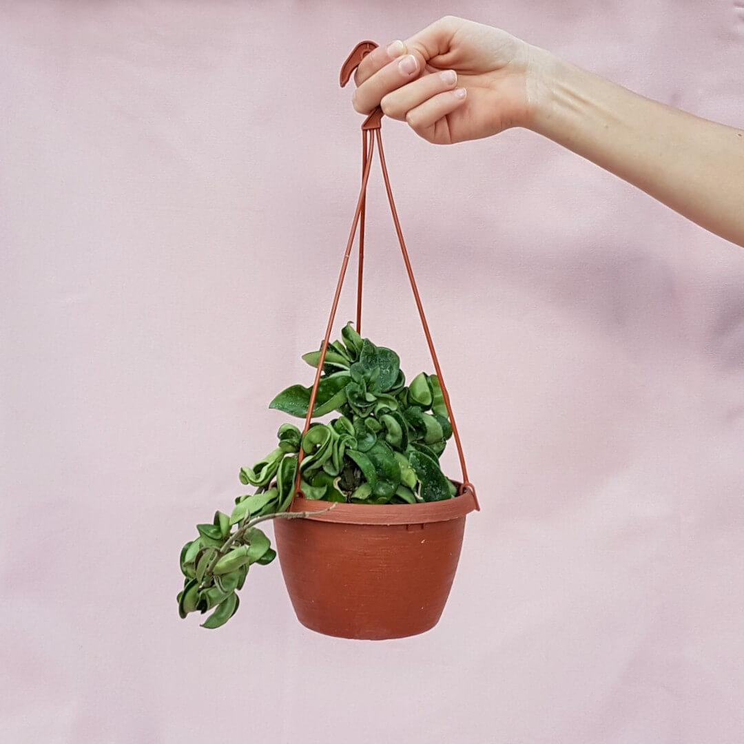 Hoya carnosa mostruosa vaso basket Ø 14