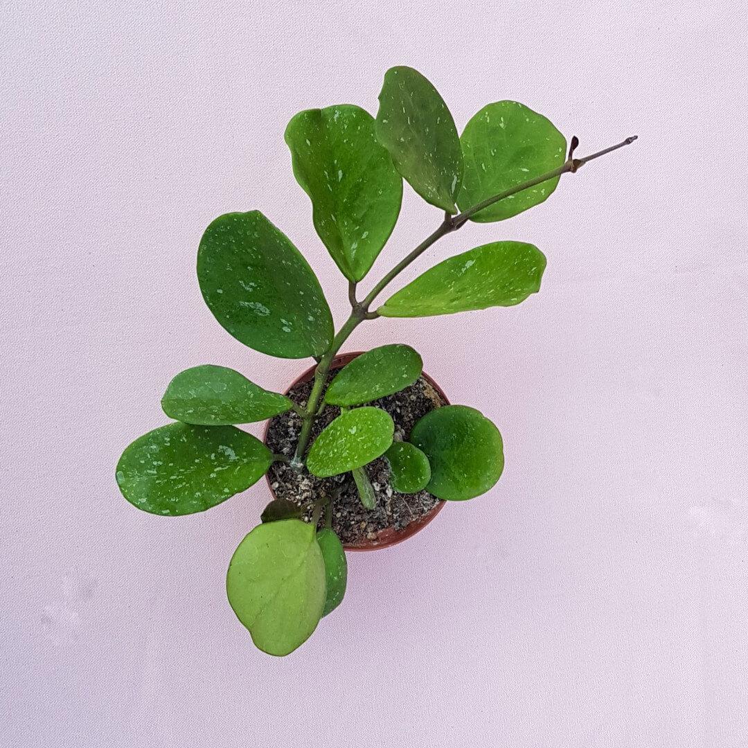 Hoya obovata vaso Ø 10,5