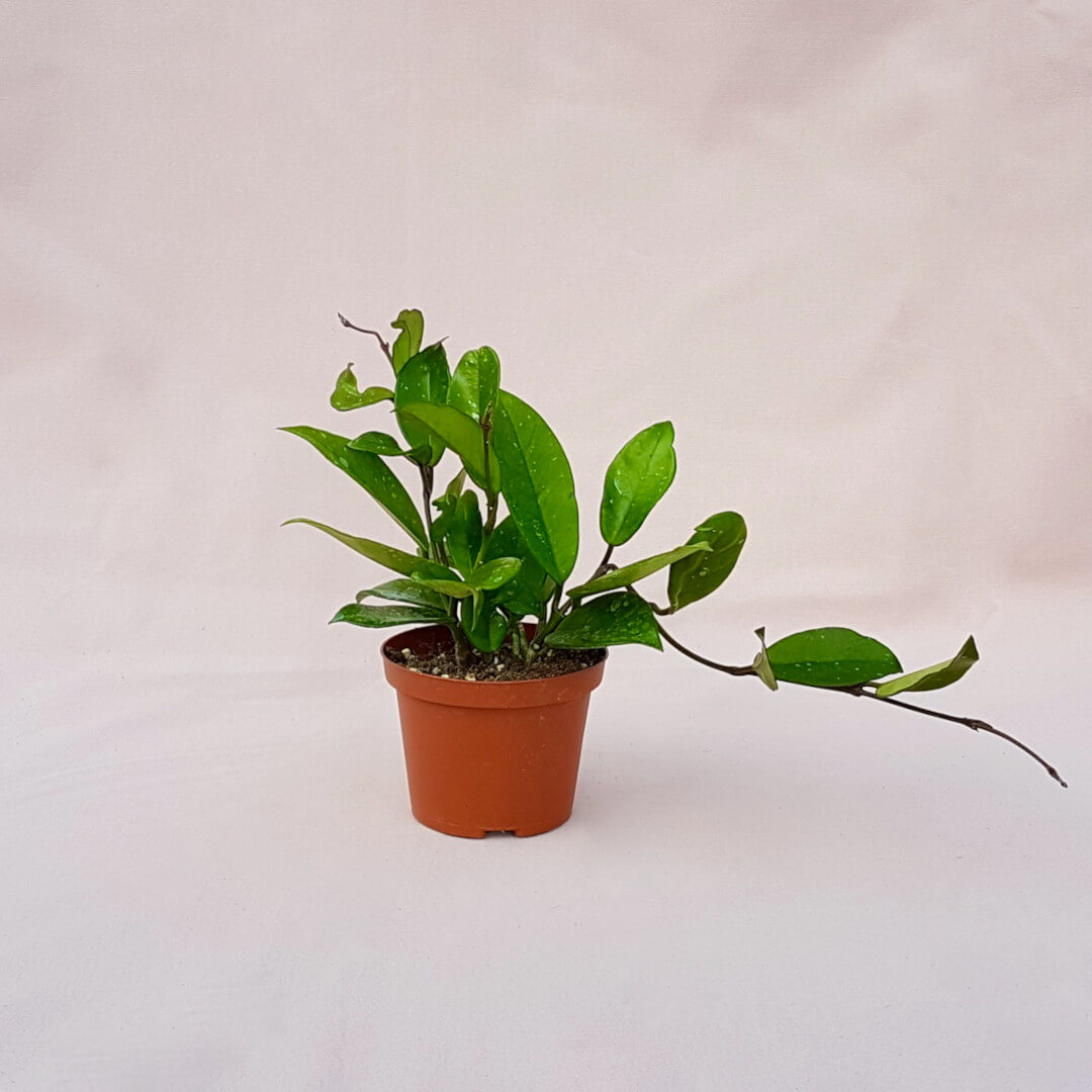 Hoya pubicalyx vaso Ø 10,5