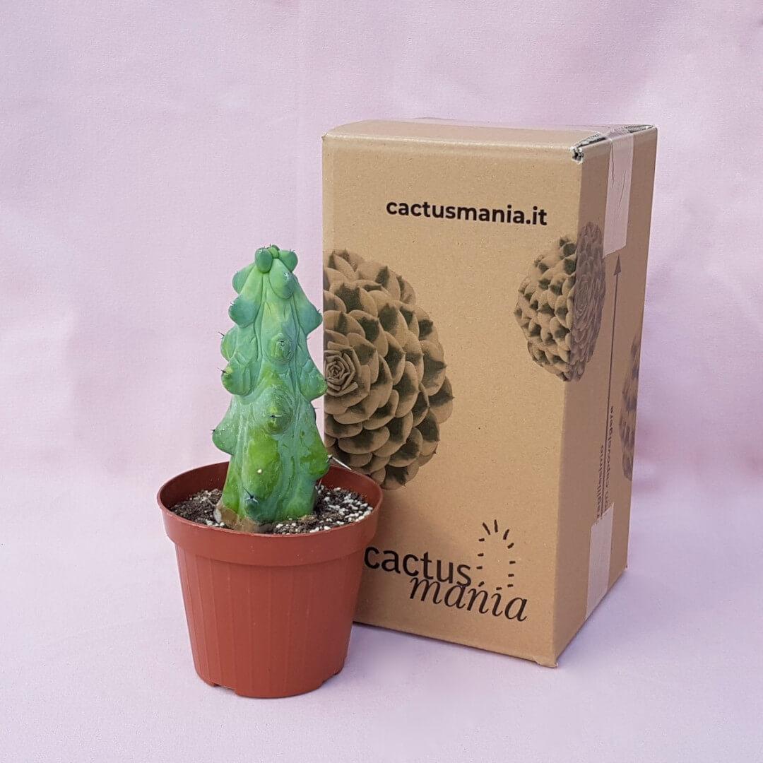Myrtillocactus geometrizans Fukurokuryuzinboku vaso Ø14