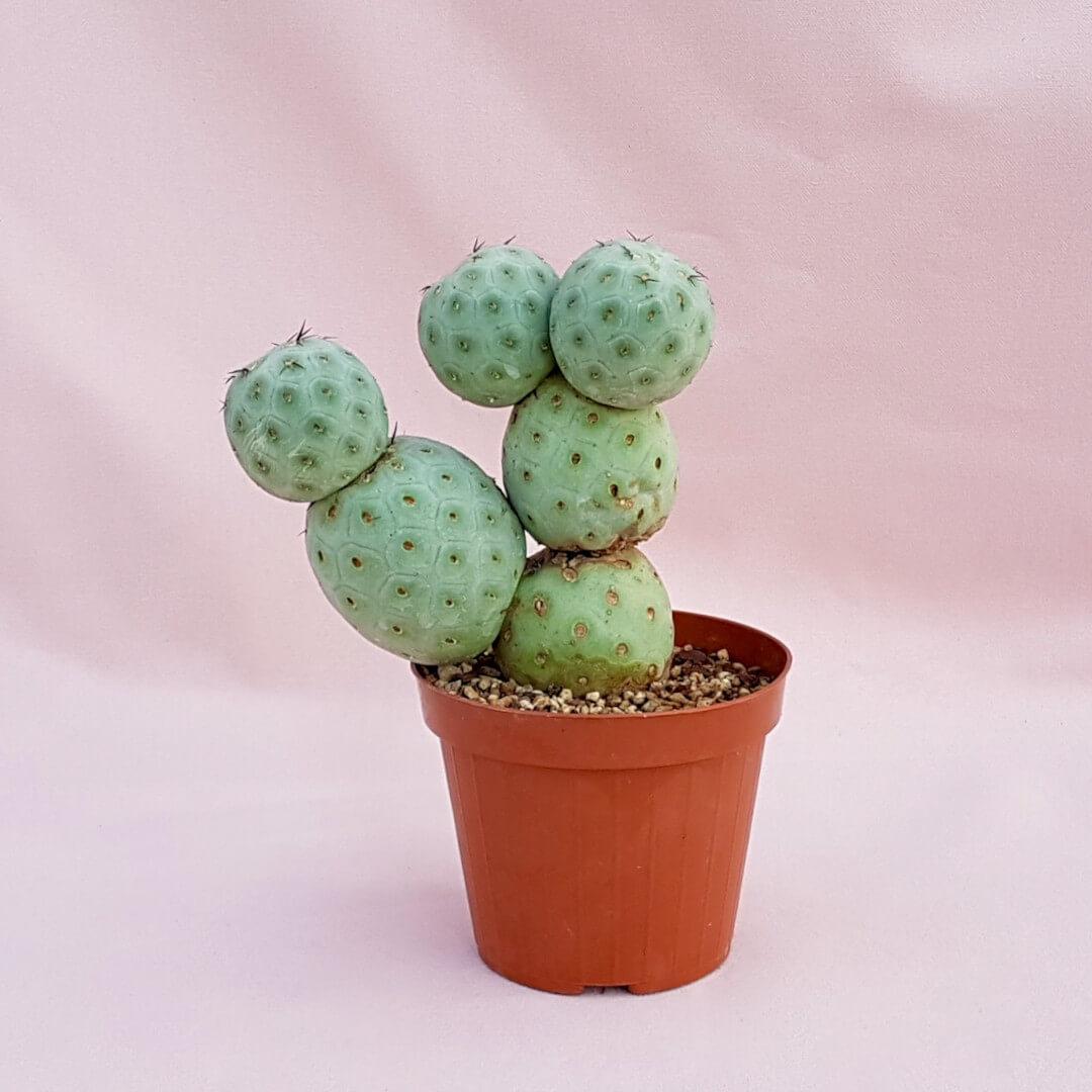 Tephrocactus geometricus '6 palle' vaso Ø12