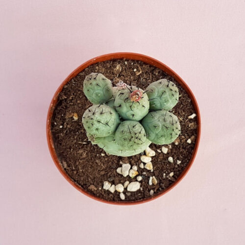 Tephrocactus geometricus mostruoso