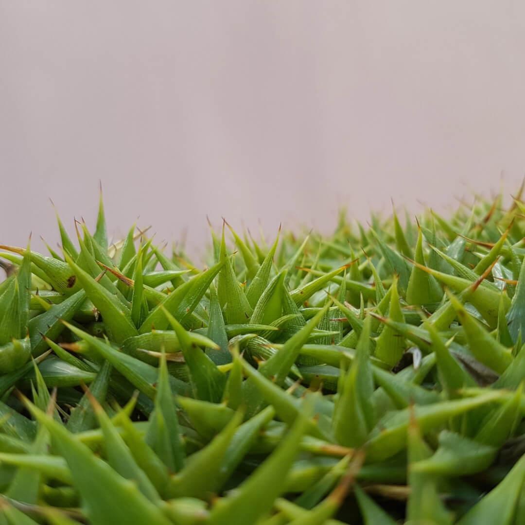 Abromeitiella brevifolia (Deuterocohnia brevifolia) vaso Ø 35