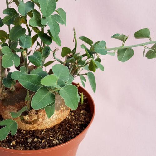 Adenia spinosa vaso Ø 14