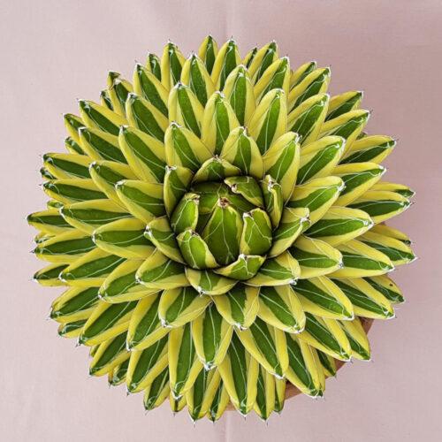 Agave victoriae-reginae variegata vaso in cotto Ø 30