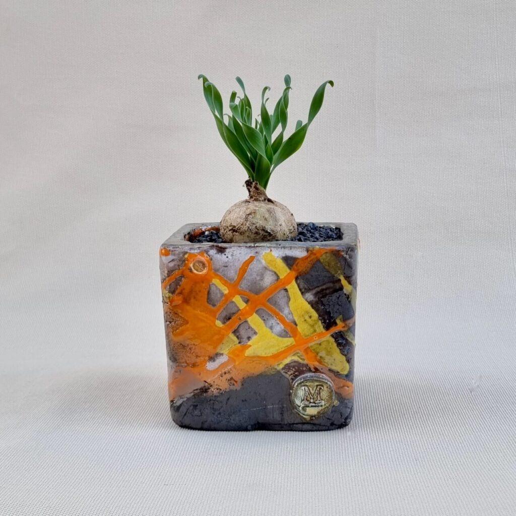 Albuca concordiana vaso 10x10
