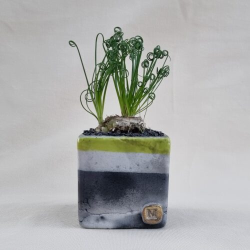 Albuca spiralis vaso 10x10