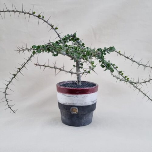 Alluaudia humbertii Ø 16 | Linea ManeRaku CactusMania