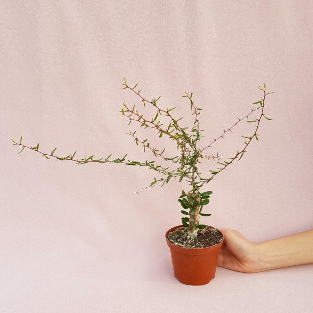 Alluaudiopsis marnieriana vaso Ø 10,5