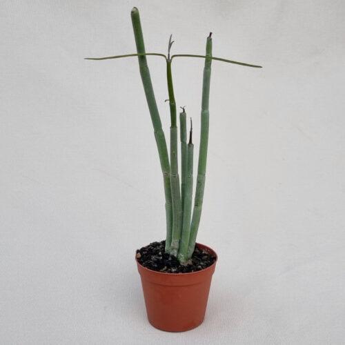 Ceropegia fusca vaso Ø 7,5   Rarità CactusMania
