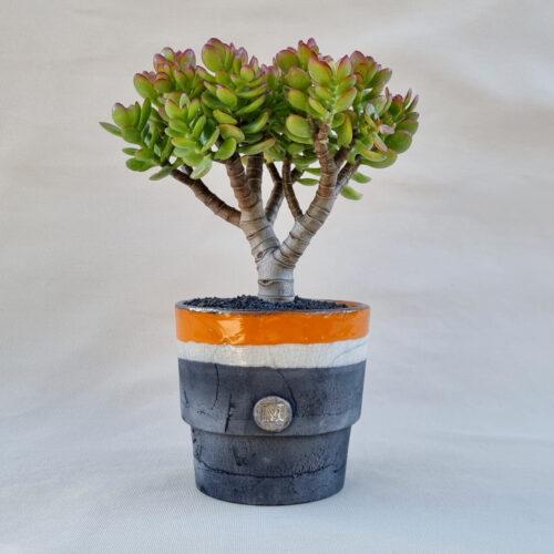 Crassula portulacea minor vaso Ø 16