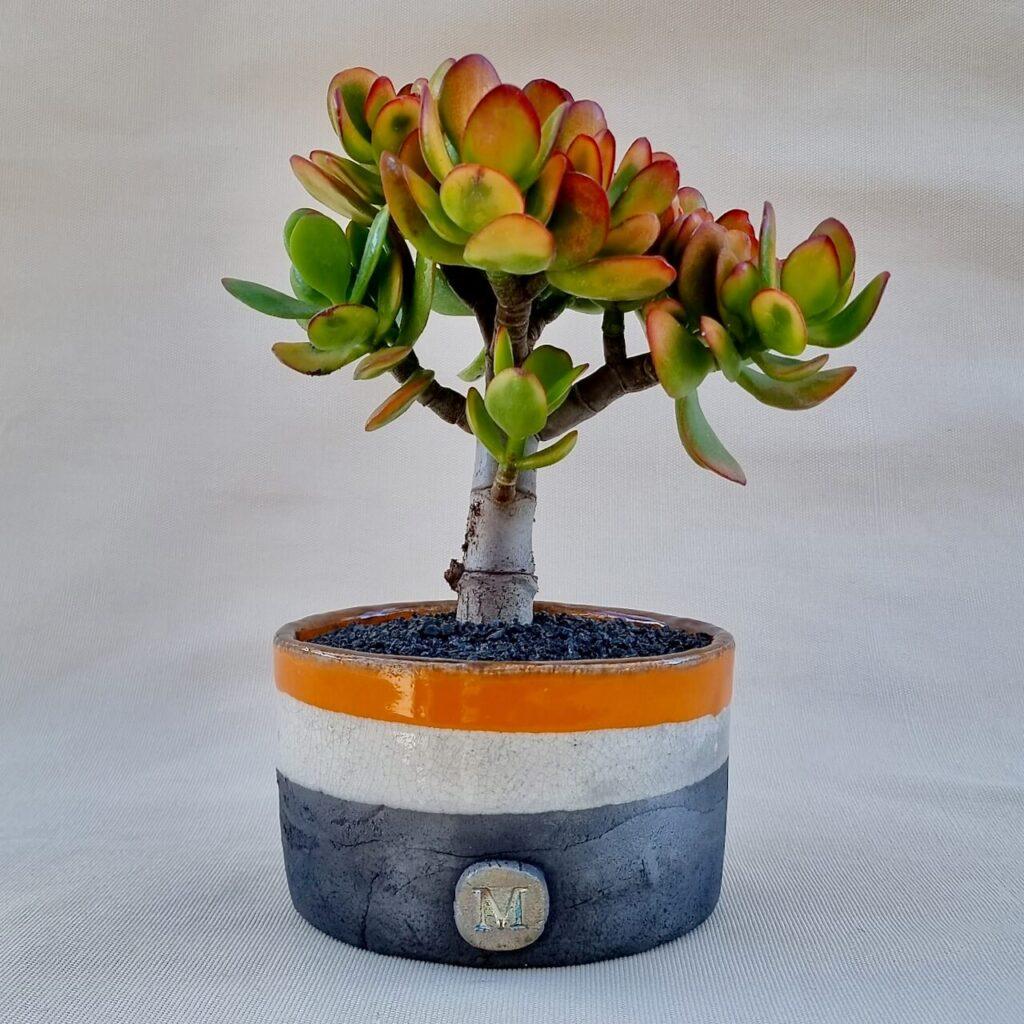 Crassula portulacea tricolor vaso Ø14