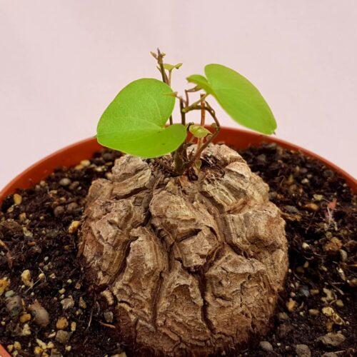 Dioscorea elephantipes montana vaso Ø 12