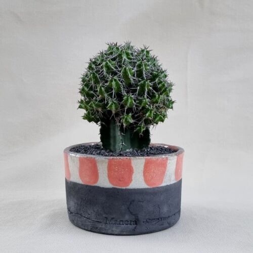 Euphorbia mitriformis innestata vaso Ø 14