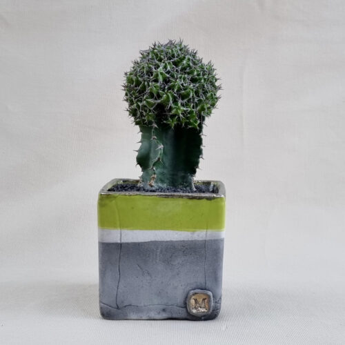 Euphorbia mitriformis innestata vaso 10x10