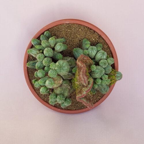 Euphorbia pseudoglobosa crestata | Rarità CactusMania