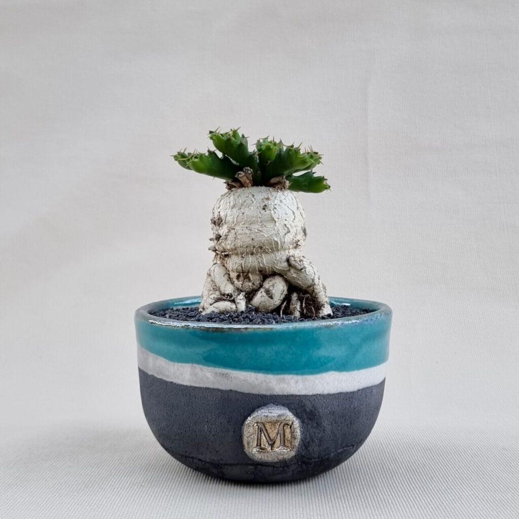 Euphorbia stellata Ø 12 | Linea ManeRaku CactusMania