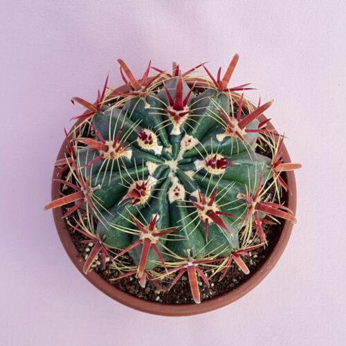 Ferocactus latispinus vaso Ø 20