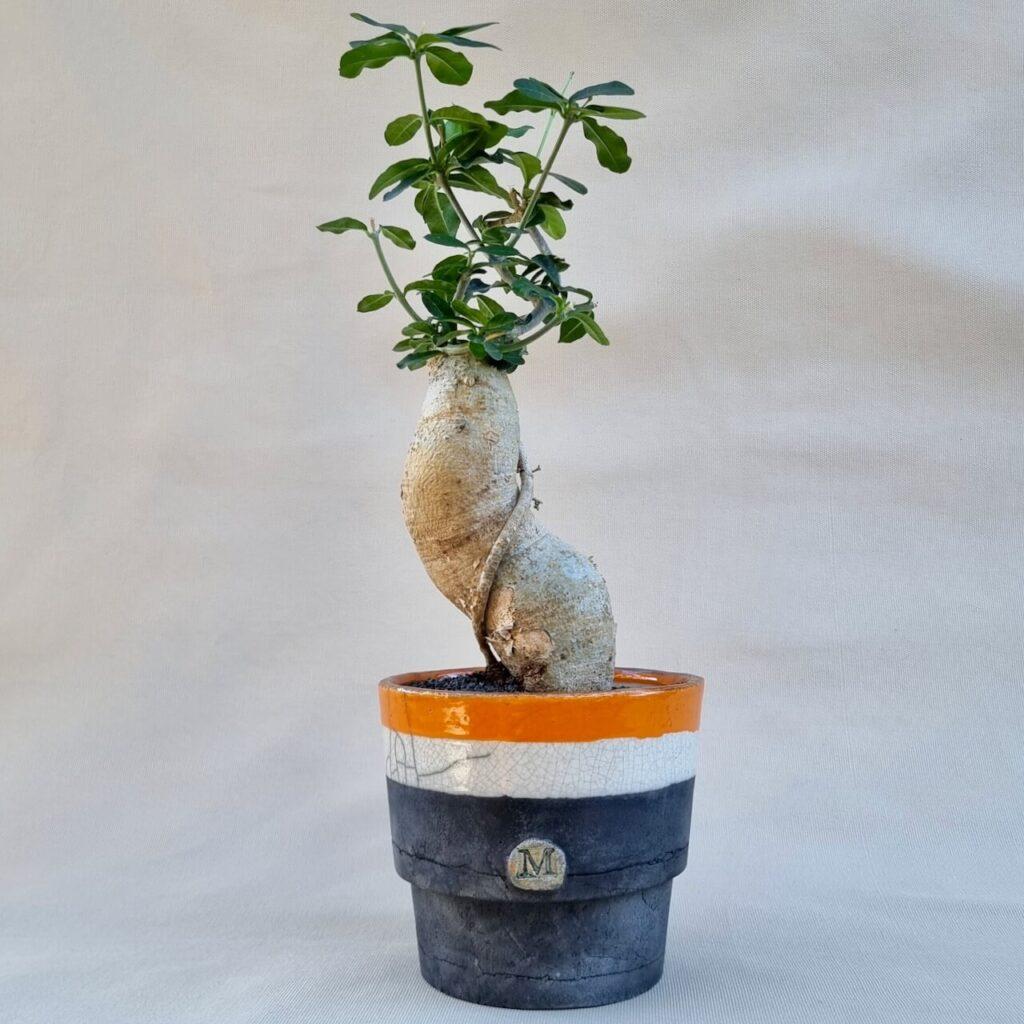 Fockea edulis vaso Ø 15