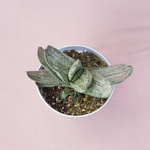 Gasteria obtusa variegata vaso Ø 10