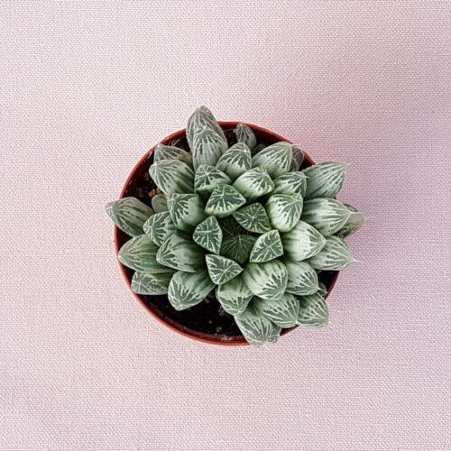 Haworthia cooperi pilifera variegata vaso Ø 7,5